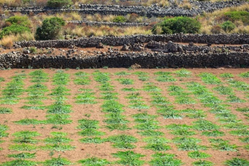 Plantation-de-câpres-à-Pantelleria-Sicile-©Bepsy-Shutterstock.jpg